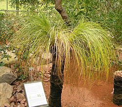 Eräs heinäpuulaji (Xanthorrhoea johnsonii).
