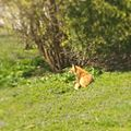 Big ol foxy in the yard (33368517244).jpg