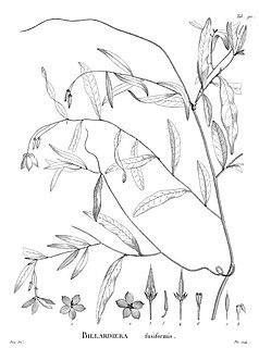 <i>Billardiera fusiformis</i> species of plant