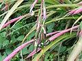 Billbergia nutans1SHSU.jpg