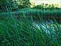 Biotope Lake of Gargazzone - Photo by Giovanni Ussi - Lake and surrounding vegetation (101) 09.jpg