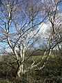 Birch tree on the disused railway line, Clifton - geograph.org.uk - 757664.jpg