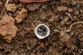 Birdnest Fungus from Anaimalai hills Stage2 JEG9944 a.jpg