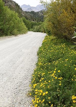 Lotus corniculatus - Birds-foot trefoil, along high-altitude roadside