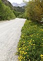 Birds-foot trefoil Lotus corniculatus roadside.jpg