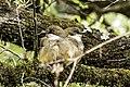 Birds at Deoria Tal, Himalayan.jpg