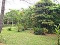 Bischofia javanica and dypsis lutescens in Shikina Garden.JPG