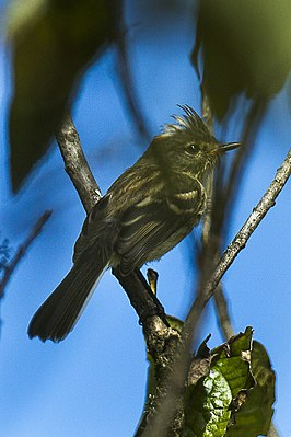 Black-crested Tit-Tyrant - South Ecuador S4E0018 (16847486386).jpg