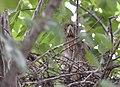 Black-crowned Night-Heron chicks from 7 11 19 (48282686737).jpg
