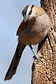 Black-crowned Tchagra, Tchagra senegala at Rietvlei Nature Reserve, Gauteng, South Africa (14898467218).jpg