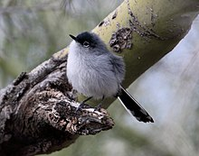 Black-tailed Gnatcatcher (Polioptila melanura) (16875128691).jpg