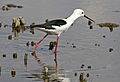Black-winged Stilt, Common Stilt, or Pied Stilt, Himantopus himantopus at Marievale Nature Reserve, Gauteng, South Africa (23130709469).jpg