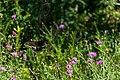 Black Butterfly Resting On A Purple Flower (166795679).jpeg