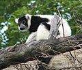 Black and White Ruffed Lemur 001.jpg