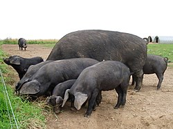 Black pigs at Wherstead, Suffolk.jpg