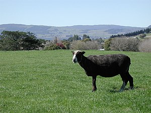 Paddock - A Black sheep on a New Zealand paddock with Lake Rotorua in the background.