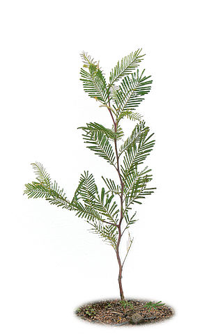 A Black wattle (Acacia mearnsii) sappling