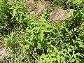 Blainvillea acmella-2-muluvi-yercaud-salem-India.jpg