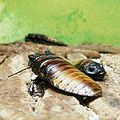 Blattes cockroaches (3436944557).jpg