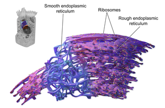 Endoplasmic reticulum - 3D rendering of endoplasmic reticulum