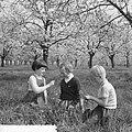 Bloeiende bloesems in de Betuwe, Bestanddeelnr 912-3357.jpg