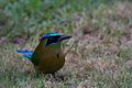 Blue-Crowned Motmot (5295741136).jpg