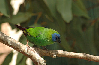 Blue-faced parrotfinch - Image: Blue faced Parrotfinch