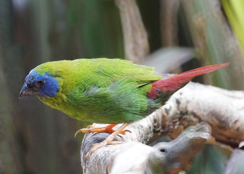 File:Blue-faced Parrotfinch (Bird enclosure) Wildlife ...