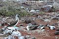 Blue-footed Booby (4885196648).jpg