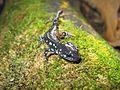 Blue-spotted salamander (Ambystoma laterale) - Flickr - GregTheBusker.jpg