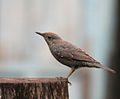 Blue Rock Thrush (Monticola solitarius)- pandoo race- Female at Jayanti, Duars, West Bengal W IMG 5750.jpg