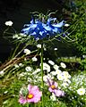 Blue flower 01 Orcas.jpg