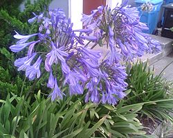 Blue flowers of San Francisco.jpg