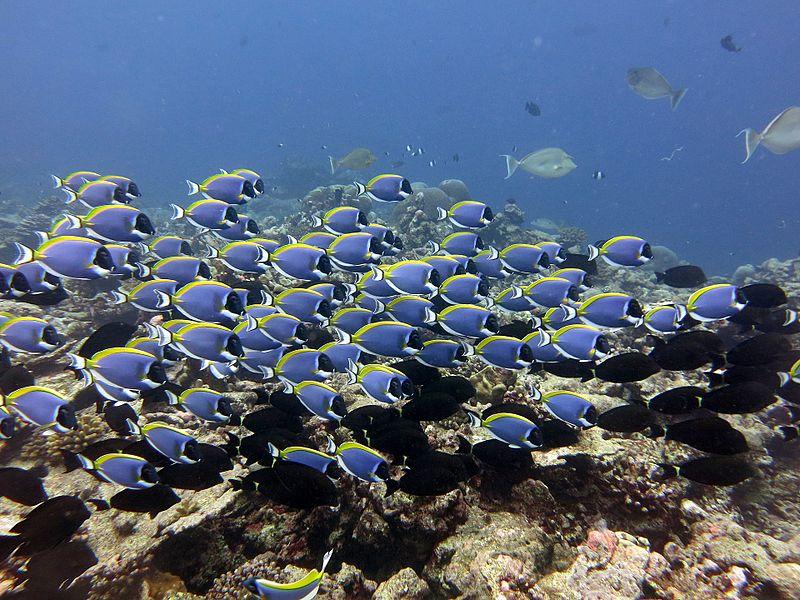File:Blue tang surgeonfish.jpg