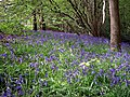 Bluebells, Holmbury St Mary - geograph.org.uk - 1285960.jpg