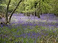Bluebells in Lower Eversley Copse - geograph.org.uk - 1946.jpg
