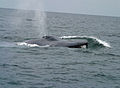 Bluewhale1 noaa crop.jpg