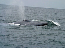 Photograph of a whale blowing