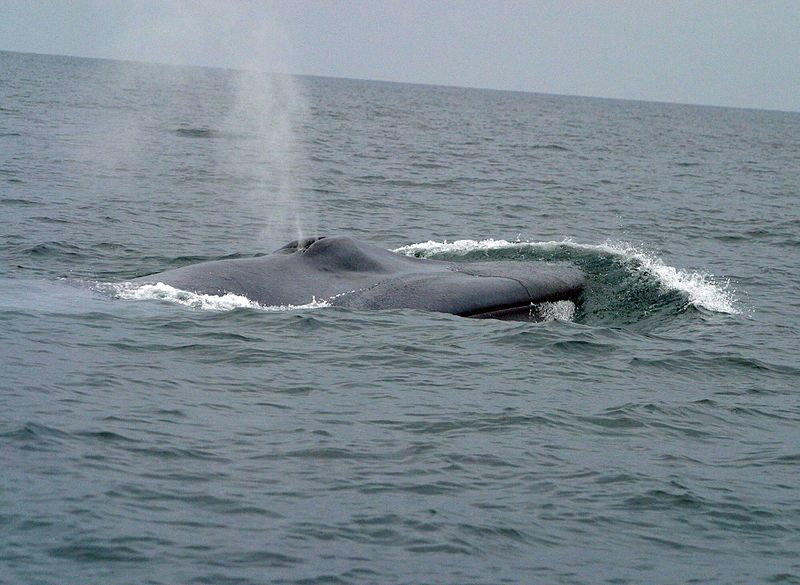 File:Bluewhale1 noaa crop.jpg