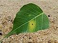 Bo leaf.jpg