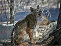 Bobcat at Sonny Bono National Wildlife Refuge (8816751288).jpg