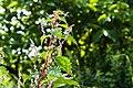 Boehmeria platanifolia 1.jpg
