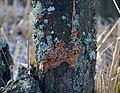 Bois mort lichens fungi 0157.JPG
