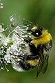 Bombus lucorum (male) Belgian Ardennes.jpg