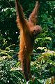 Bornean Orangutan (Pongo pygmaeus) (14392567068).jpg