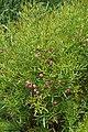 Boronia heterophylla kz01.jpg