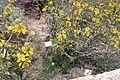 Botanic garden phlomis burea שלהבת זהובה.JPG