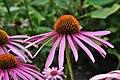 Botanischer Garten der Universität Zürich - Echinacea purpurea 2010-08-24 18-05-58.JPG