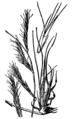 Bouteloua eriopoda HC-1950.png