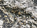 Brachiopods in fossiliferous limestone (Jeffersonville Limestone, Middle Devonian; Falls of the Ohio, southern Indiana, USA) 11 (32623001554).jpg